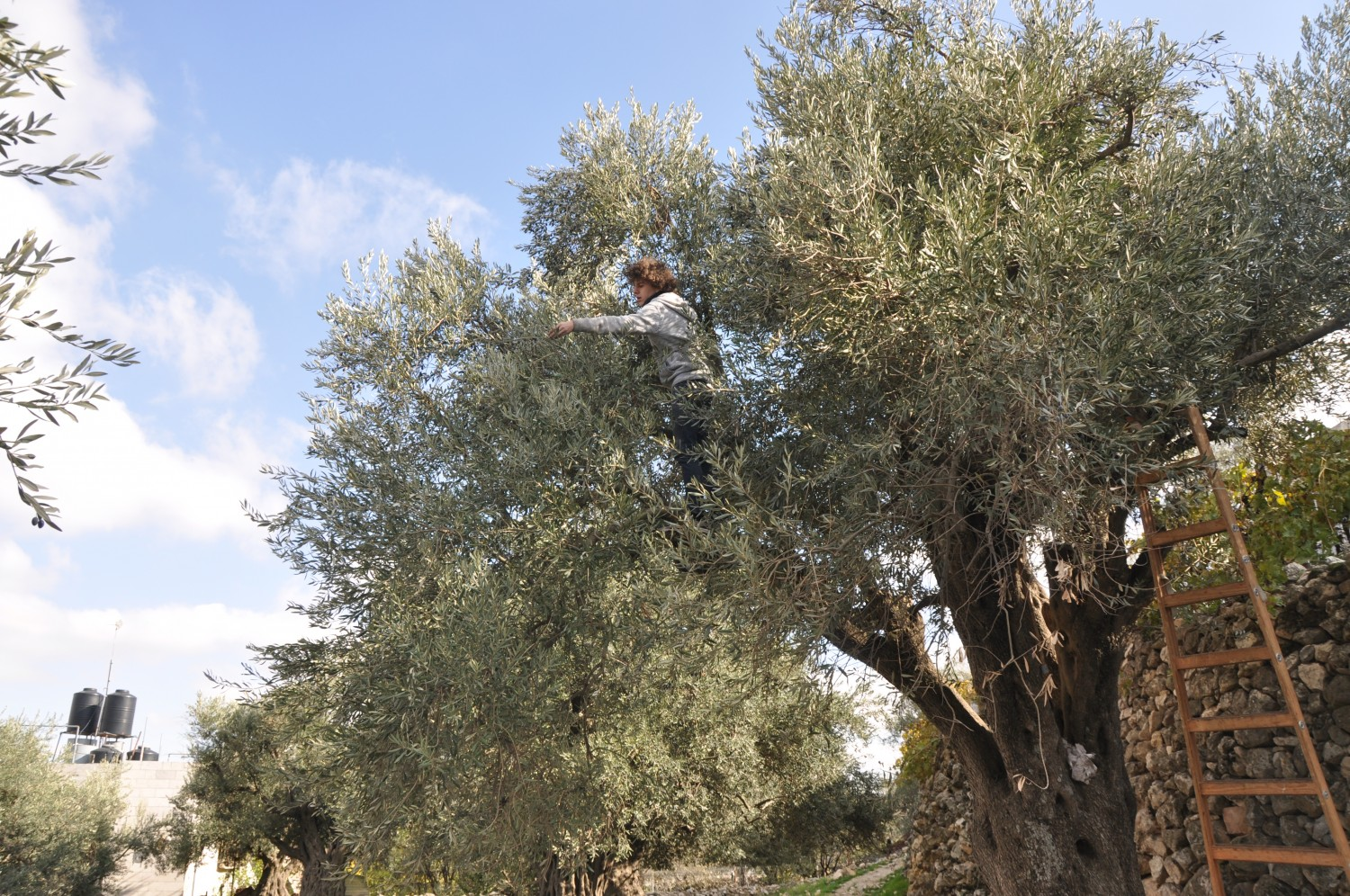 Tomas happily picking olives for Idris