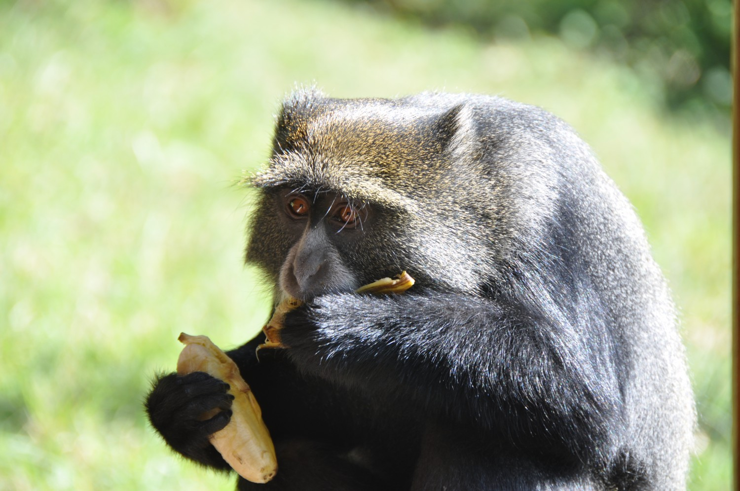 A monkey stealing lunch
